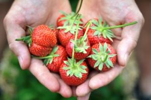 fraises confiture qualité