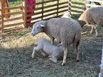 C'est de saison : l'agneau de Sisteron
